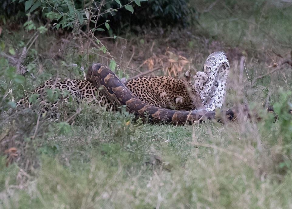 原创 豹子的战斗力有多强?巨蟒试图捕食豹子,最后却成了豹子的晚餐