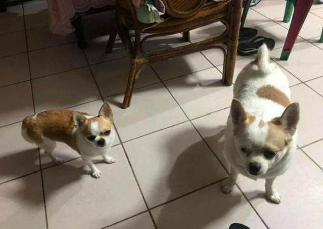 两只狗狗从小分开养,一只姑姑养一只奶奶养,分别是有点大啊……