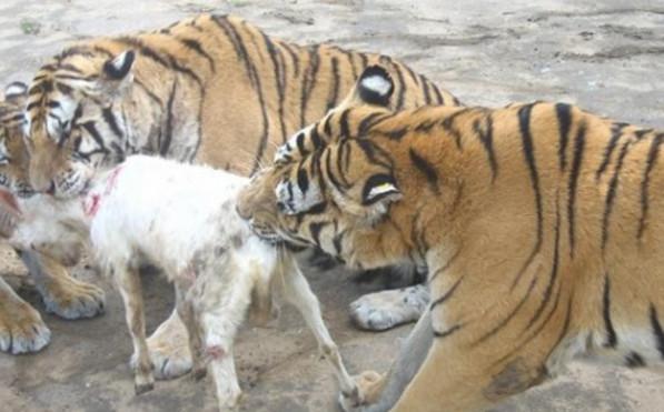 众多老虎搞不定一只小羊,网友跳脚大叫:曾经霸气何在!