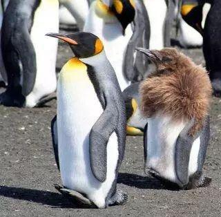 企鹅换毛超搞笑,像是个穿着皮草的阿姨,还没穿裤子