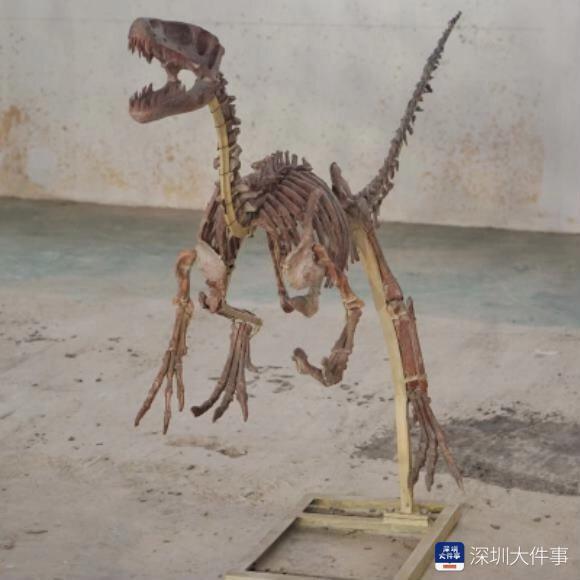 亚洲最大、最壮的恐龙来了!深圳首个最大恐龙化石展开幕