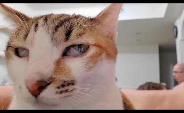 主人让犯错猫咪去面壁反省,以为它认识到错了,走近一看竟睡着了