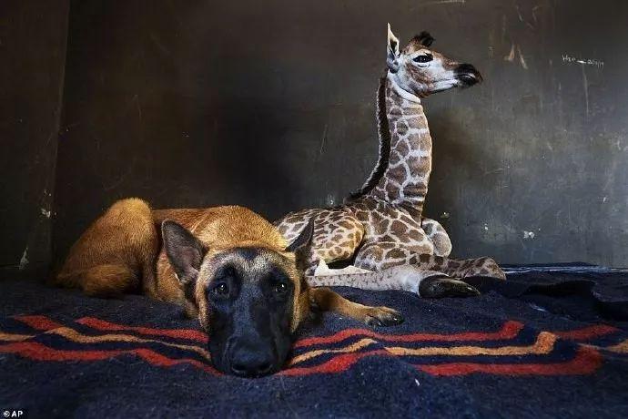 9天大的长颈鹿宝宝被遗弃,狗狗自告奋勇当起了鹿妈妈...