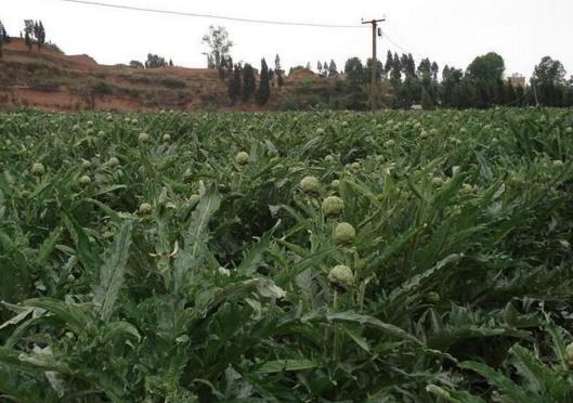 """蔬菜中""""贵族"""",全身仅10%能吃,最贵时50元1斤,农民却不愿意种"""
