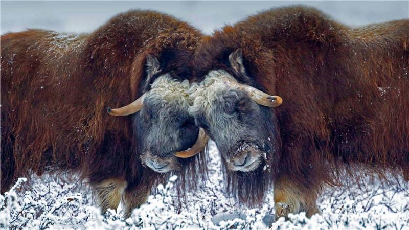 原创 北极出现一猛兽,非牛非羊,一吃东西就打瞌睡,遇狼不逃反攻击