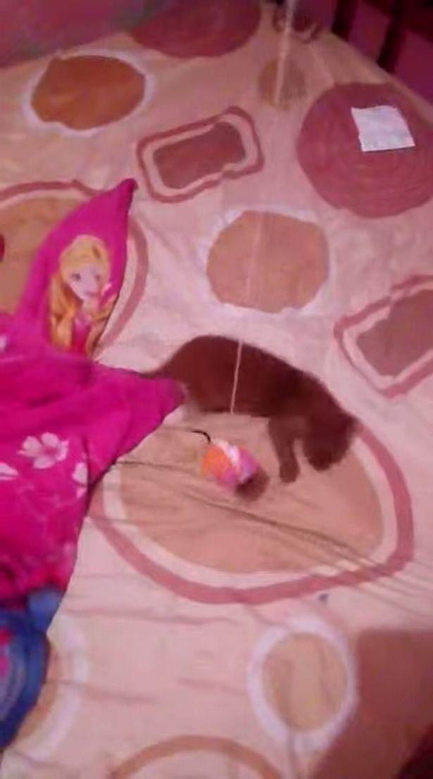 国外少女震惊地发现她收养的小奶猫实际上是只美洲狮