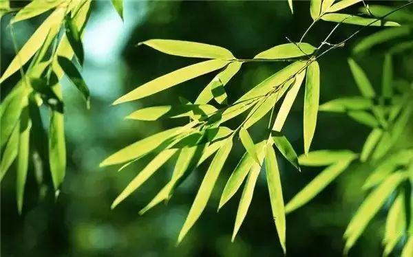 竹子,竹林,竹节,竹子特写,竹叶,竹林风景图片,高风亮节,高清图片素材图片