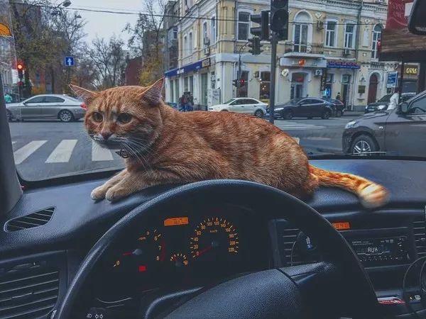 司机开车被橘猫赖上,载客时都带着它,之后竟有了意外收获..