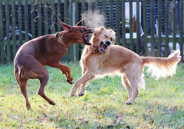 为何狗狗喜欢打架?原因是这5点,主人:拉都拉不住