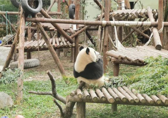 """""""國寶大熊貓""""的身體秘密,你了解嗎?"""