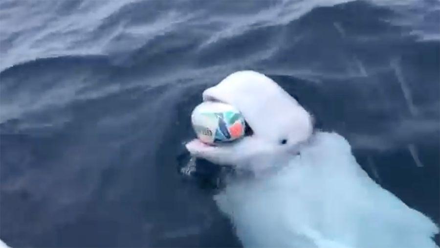 和人类温馨互动的白鲸,可能曾是军事间谍
