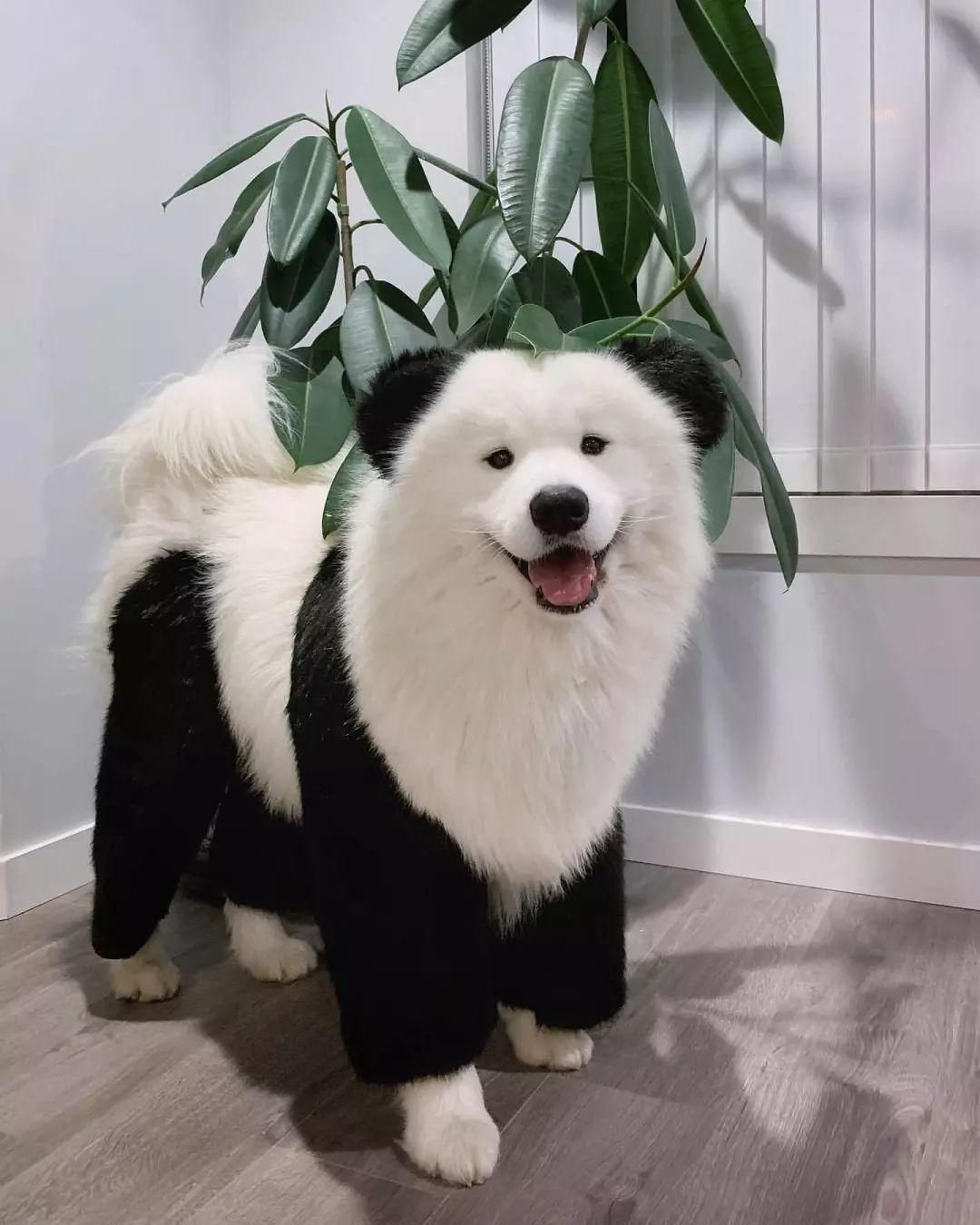 那些养不了熊猫的人,最后都选择了养狗