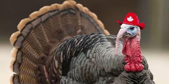 """感恩节话火鸡:因为胸太大,没法XXX?10个关于""""火鸡""""的冷知识"""