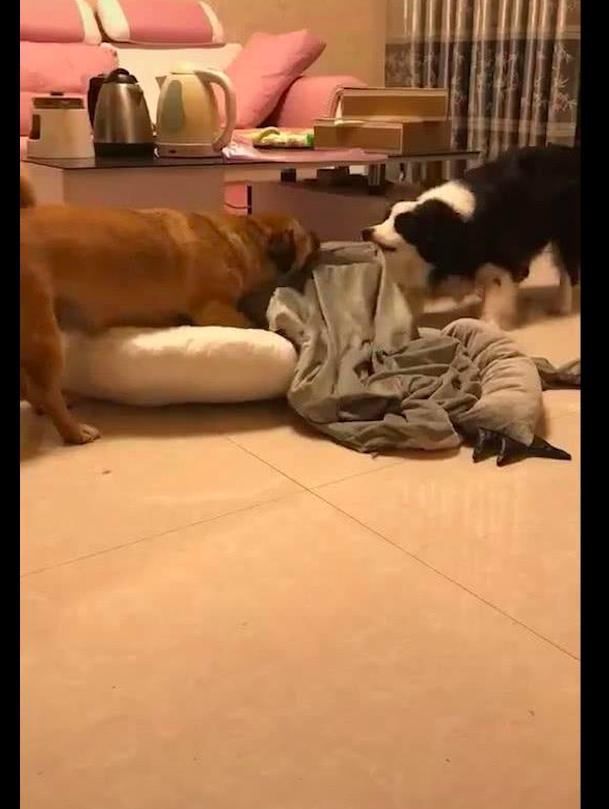 两只狗在家里争抢沙发套,结果直接给撕成了两半,主人目睹全过程
