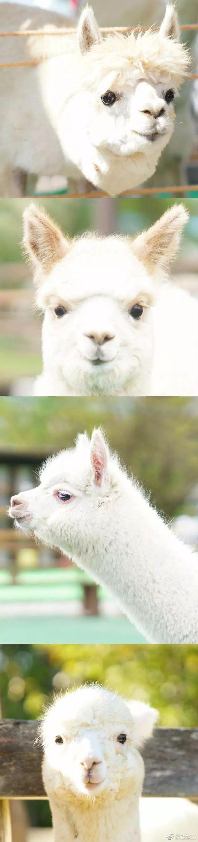 羊驼也超级可爱的呢,太治愈了...