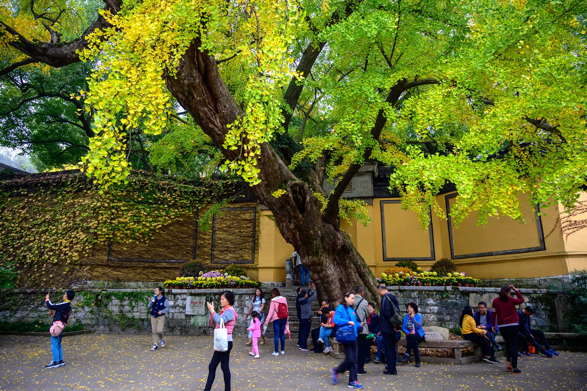 無錫排名第一的古寺,至今1500多年歷史,寺前有一棵600年古銀杏