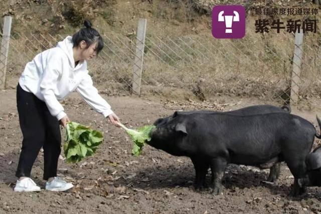 家人催婚用300头黑猪做陪嫁 女孩最多养过2000头黑猪