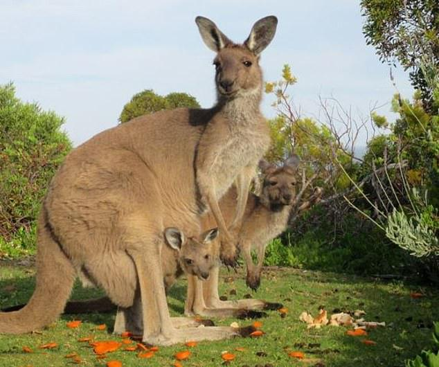 原创 一群袋鼠,一对父子,他们之间的和谐美好,让人感叹大自然的神奇