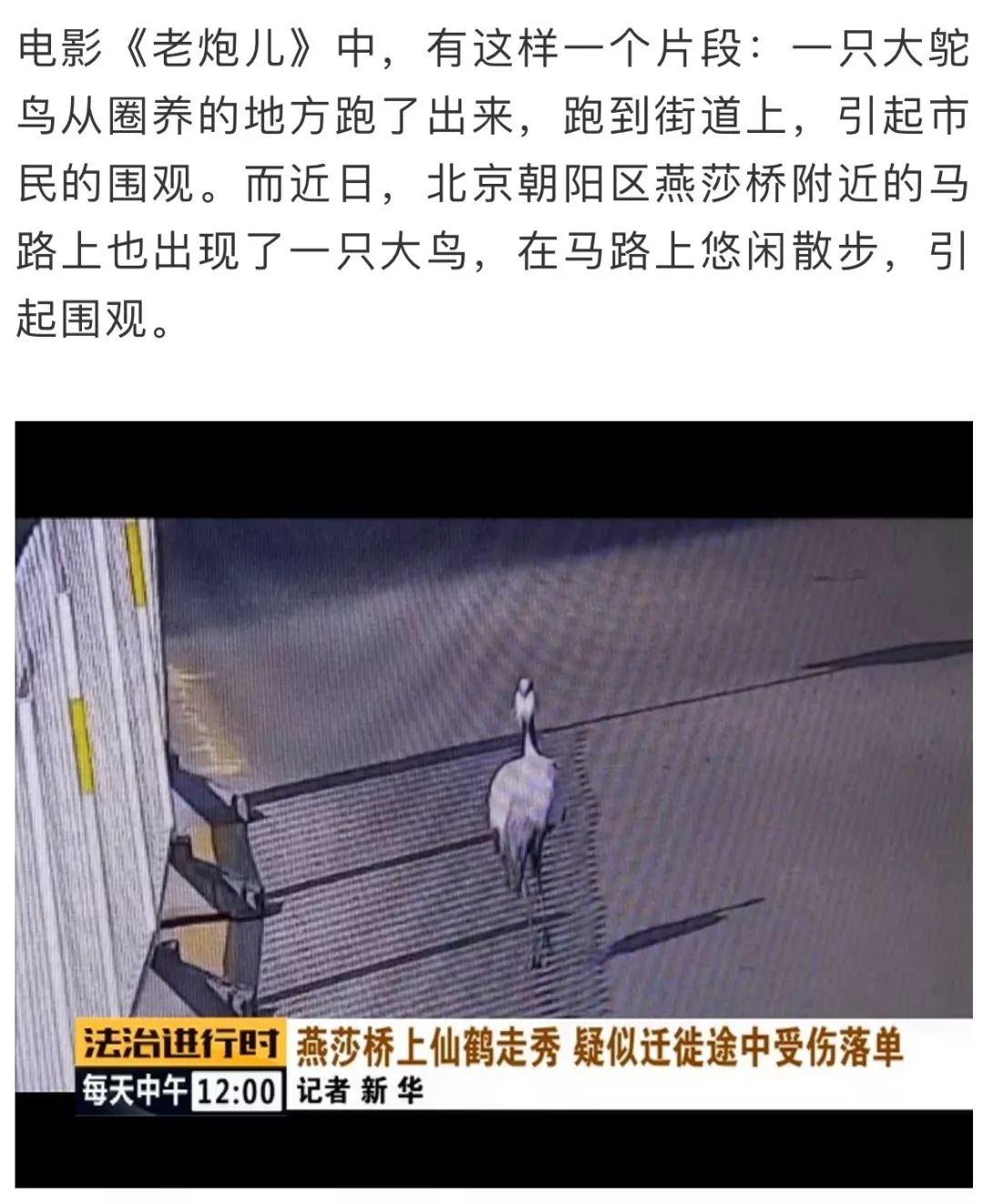 仙鹤!在北京的大马路上?!