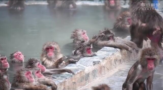 北海道猴子泡温泉表情惬意,让日本网友羡慕:人不如猴啊