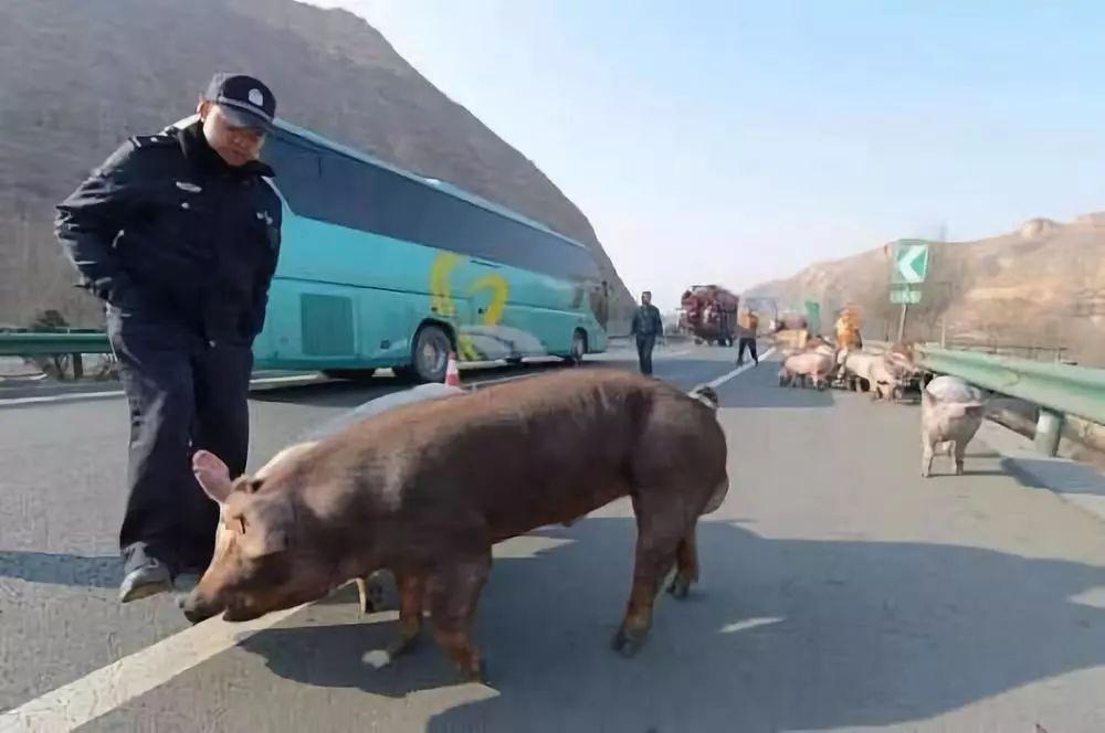 交警路政一起在高速公路上与种猪展开了斗智斗勇围追堵截.(图片