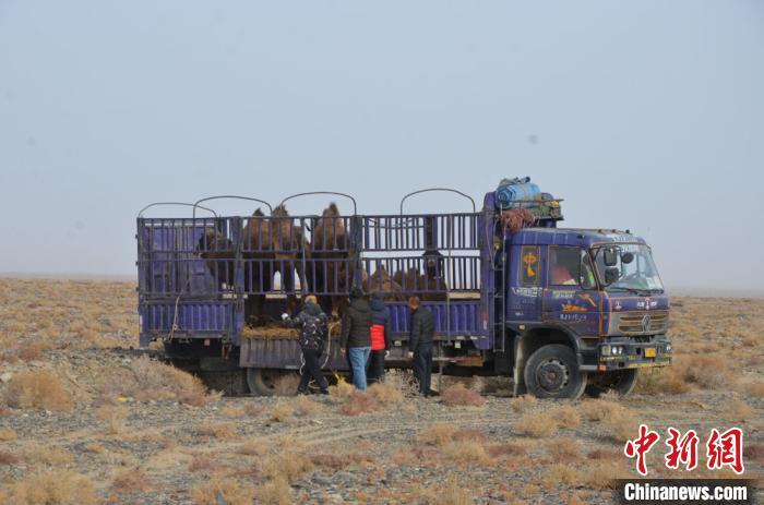 甘肅敦煌西湖保護區放歸攻擊性野駱駝 配備GPS項圈適時監測