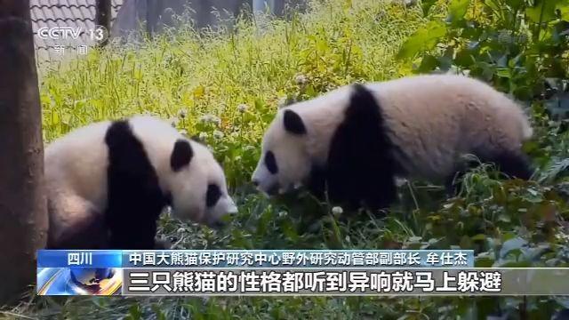 歷史首次!三只大熊貓將在川外野化放歸