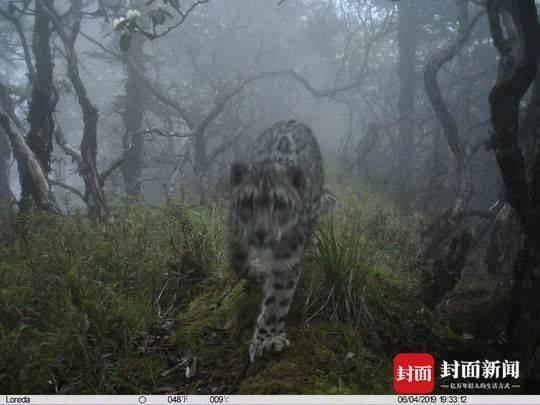 <b>全球首次!四川卧龙拍到雪豹现身大熊猫栖息地</b>