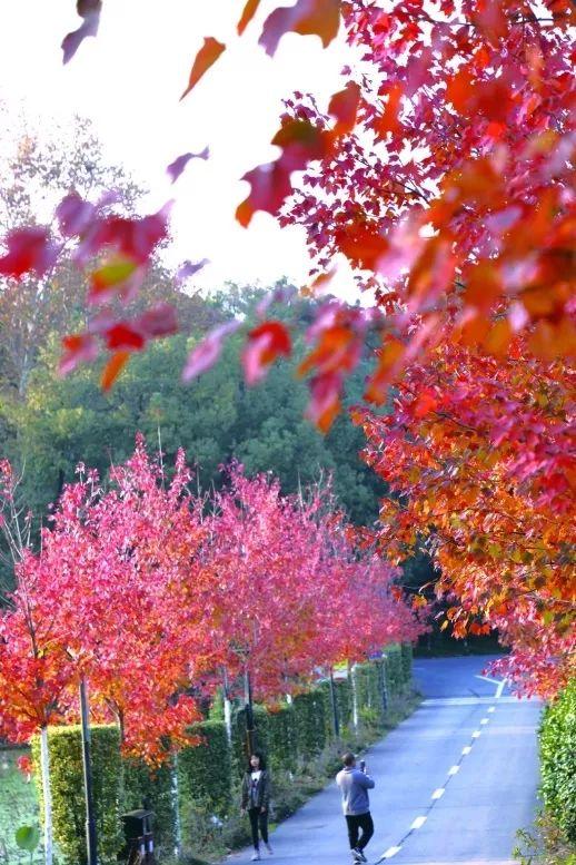 荐玩丨150余种!长沙这里的彩色叶植物最佳观赏期到了,这份赏叶路线请收好!_大道