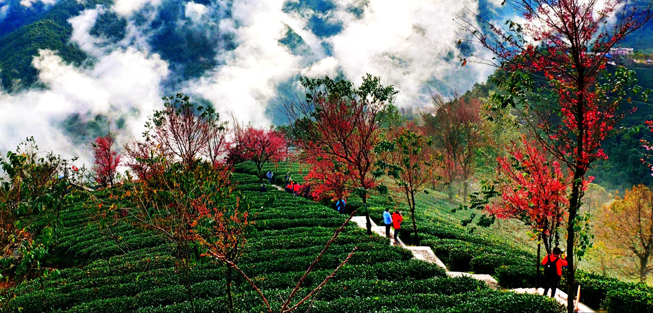 南涧,大理,樱花,景园,茶山,摄影,住宿,天气,光线,冷花,美图,樱花谷,无量山,花正,景园,大理