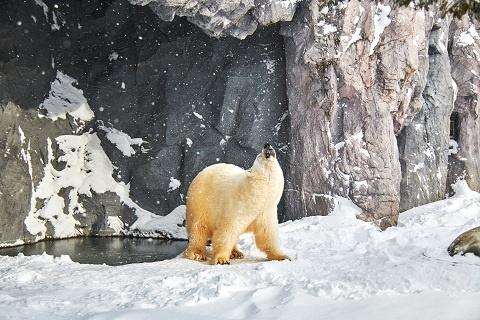 """罕见!近60只北极熊""""入侵""""俄北部村庄 饿得皮包骨头还带着小熊"""