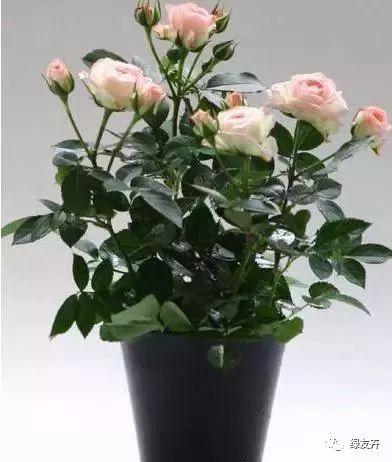 阳台养小玫瑰微月,记住这个口诀,呼呼开花不黄叶!