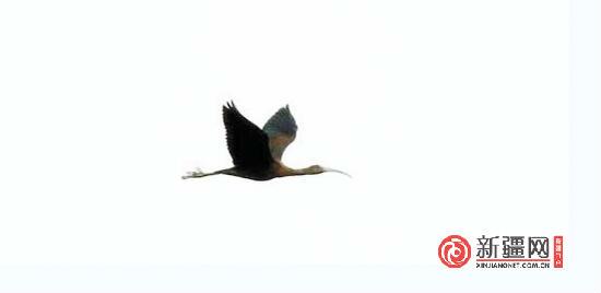 【共有一座城 共爱一个家】新疆鸟友今年拍到五种罕见鸟
