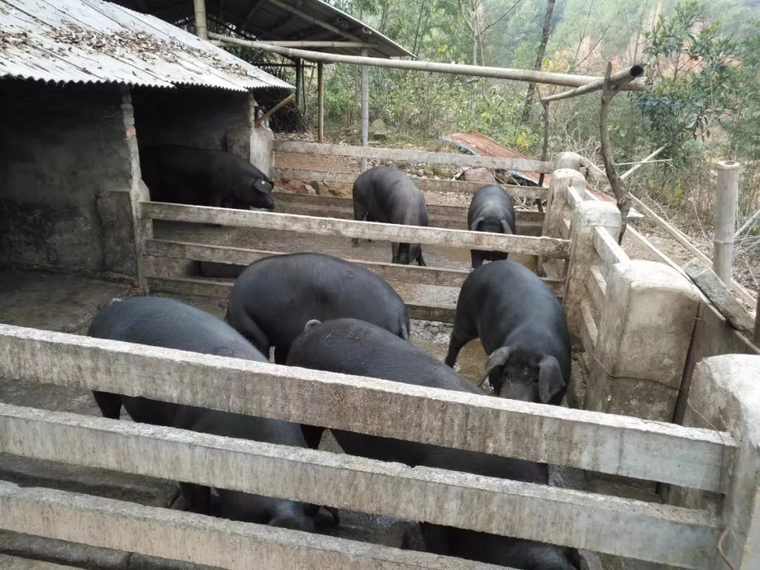 岳西马上又要到杀年猪、吃杀猪饭的季节了,你们家什么时候杀年猪?