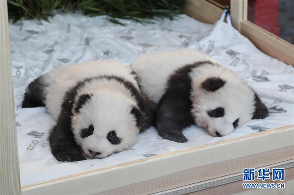 """歹毒!碰瓷熊猫宝宝取名未遂 乱港分子竟诅咒其""""绝种"""""""