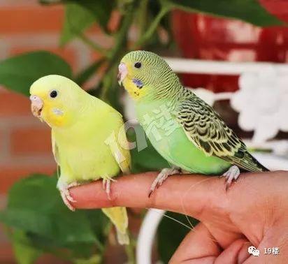 杭州32岁鹦鹉因在家里养了两只虎皮苍蝇,被妻复活男子是什么原理图片