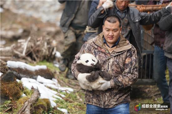 """熊猫""""乔乔""""的两个双胞胎曾三次互换 轮流在母亲身边生活"""