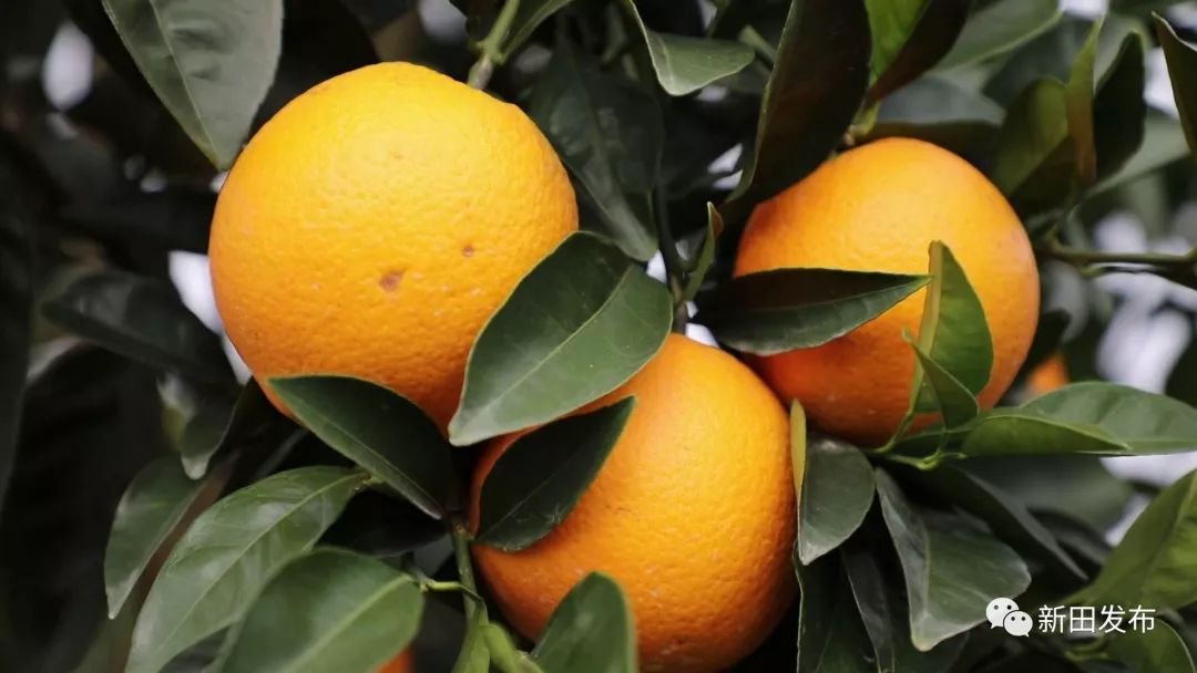 """新田这个千亩脐橙基地丰收啦!良""""橙""""美景等你来约→"""