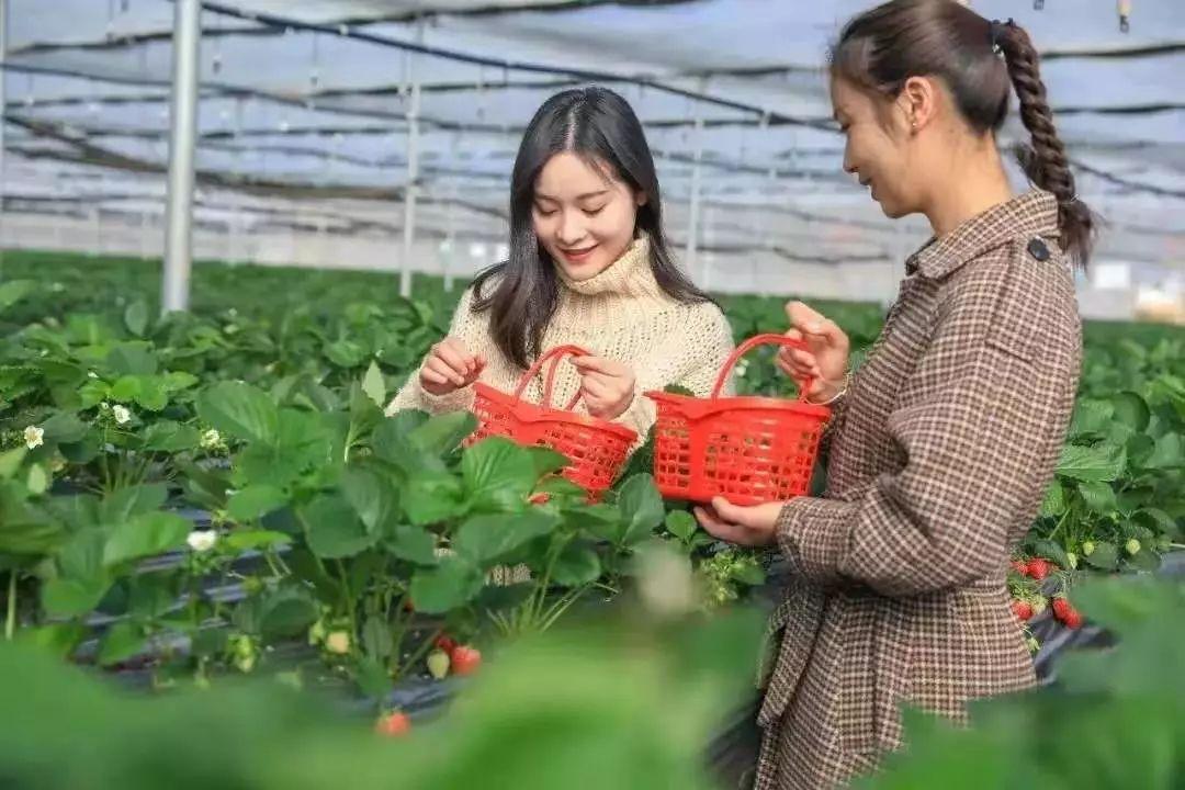 七河:小小红草莓,农民奔小康