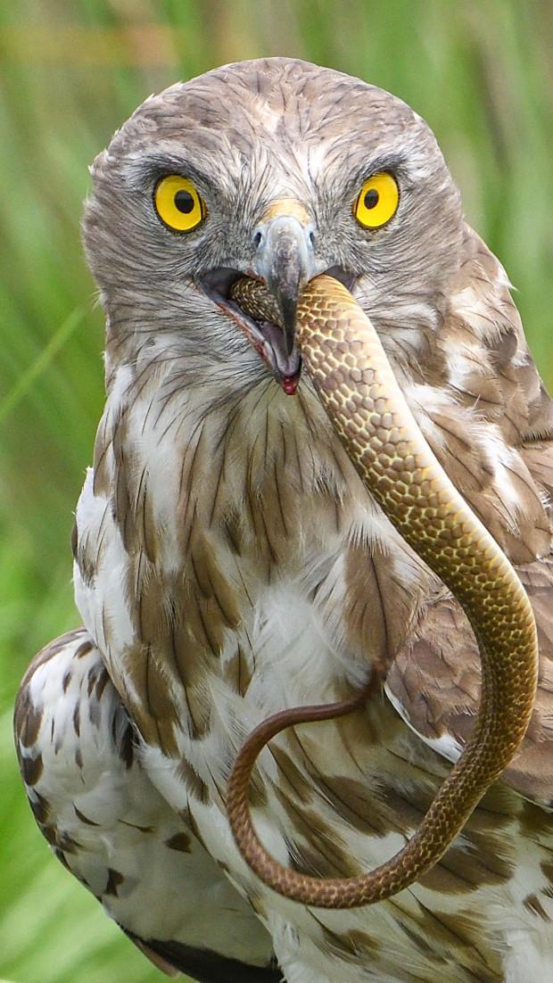 一物降一物:短趾鹰吞噬剧毒眼镜蛇,像吃意大利面条一样