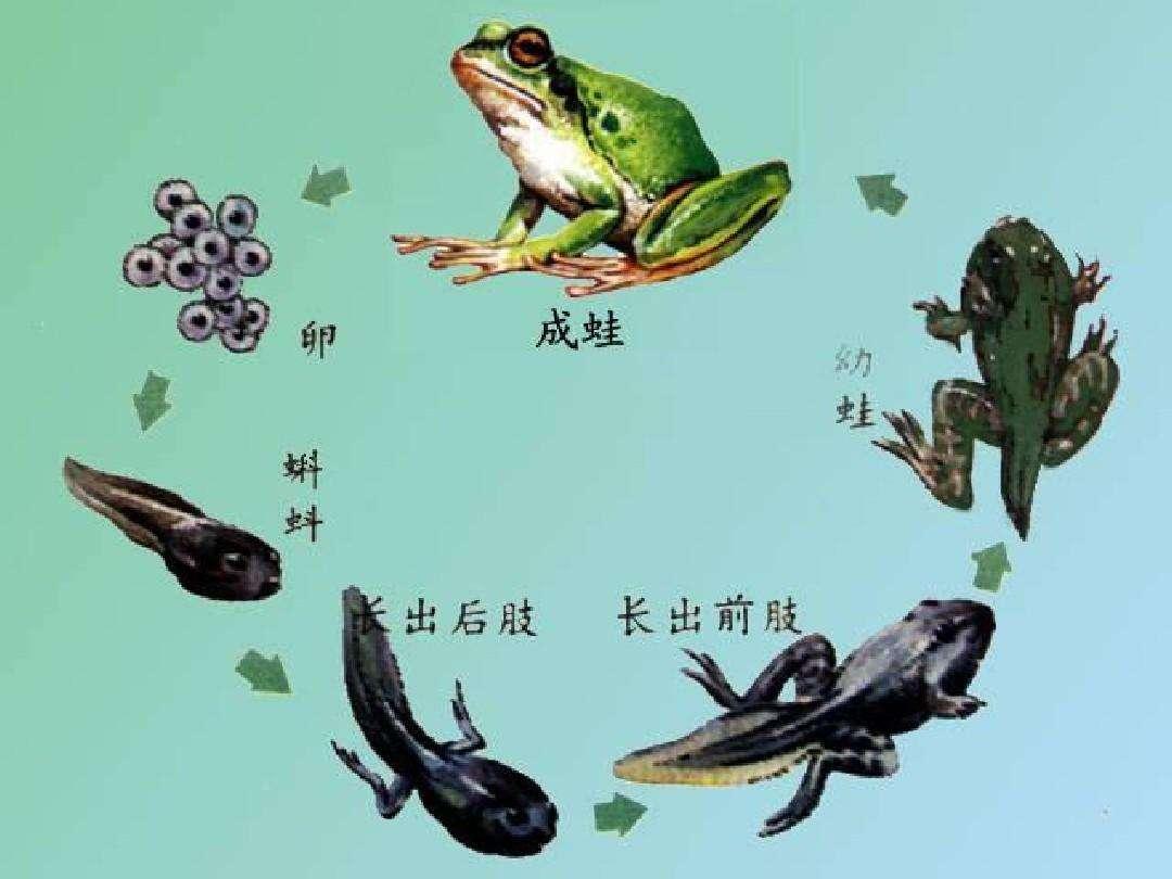 蝌蚪和青蛙的画法 青蛙和小蝌蚪的简笔画 青蛙简笔画 小蝌蚪进化过程简 图片