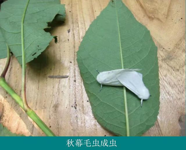 毛毛虫的运动原理_东北毛毛虫图片啃树叶