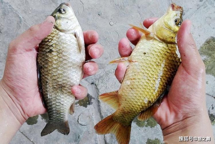 这鱼常被冒充河鲜卖,12元一斤却肉质差,买鱼时一定擦亮眼睛