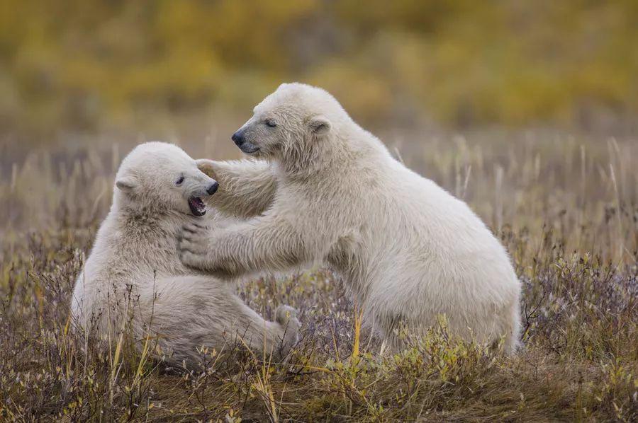 有熊出没 | 来看颠覆你三观的多彩夏日北极