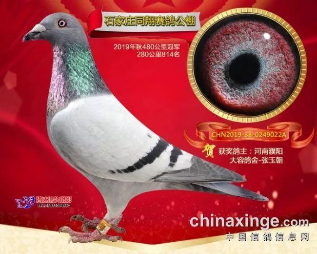 十一届老资格 石家庄同翔冠军鸽欣赏