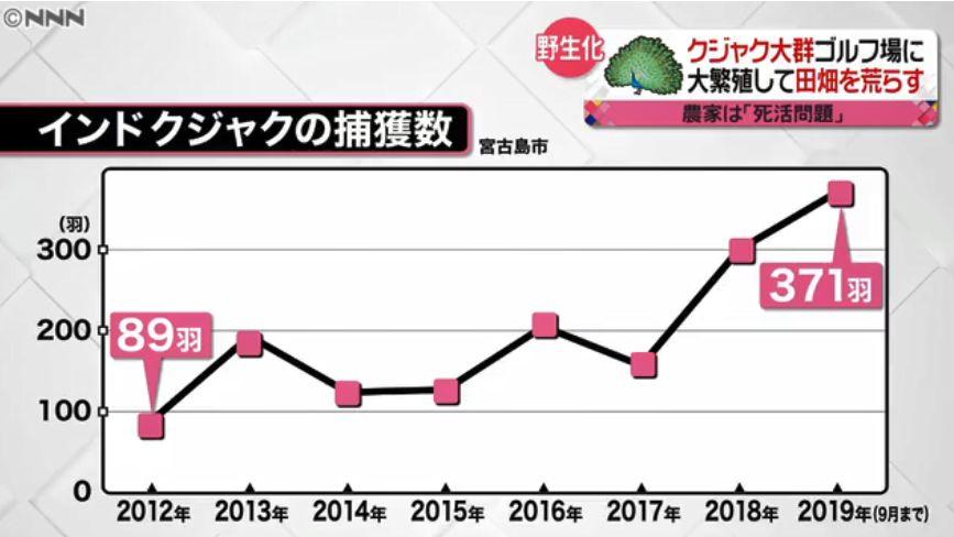 日本小岛孔雀泛滥成灾,当地政府又发愁了……