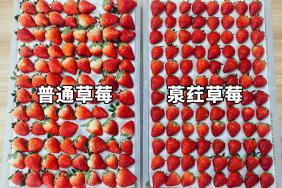 <b>南方人组团去西安种草莓?有人赚了2千万,村民收入翻4倍</b>