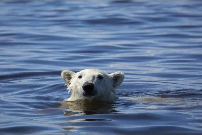 而且危害是人类,由于海象活动不止的全球变暖,同样也在极大影响北极熊打赌博老虎机的导致图片
