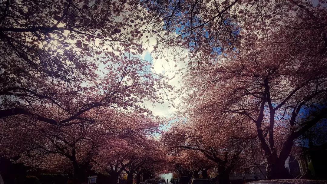而此时不止有满园花海的公园和簌簌飘落花瓣的城中小径,还会有很多