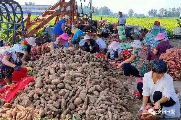 百名记者基层行丨小红薯长成致富大产业